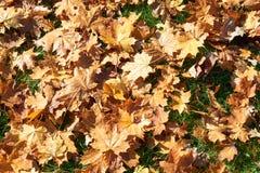 槭树的黄色,绿色,金黄叶子在秋天分支 免版税库存照片