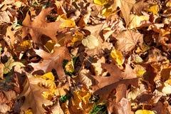 槭树的黄色,绿色,金黄叶子在秋天分支 库存照片