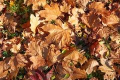 槭树的黄色,绿色,金黄叶子在秋天分支 图库摄影
