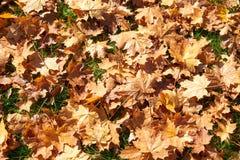 槭树的黄色,绿色,金黄叶子在秋天分支 库存图片