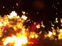 槭树离开与被弄脏的金黄日落在背景 库存图片