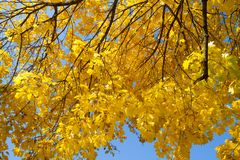 槭树秋叶 图库摄影
