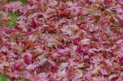 槭树秋叶 免版税图库摄影