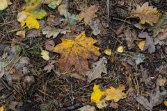 槭树秋天下落的叶子 库存照片