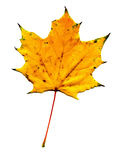槭树秋天叶子 免版税库存图片