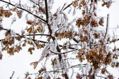 槭树种子喷口直升机 免版税库存照片