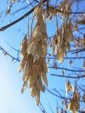 槭树种子在背后照明的 免版税图库摄影
