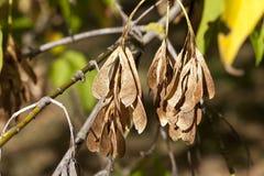 槭树种子秋天 库存照片