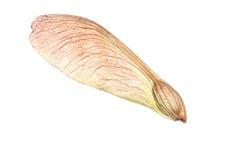槭树种子结构树 库存照片
