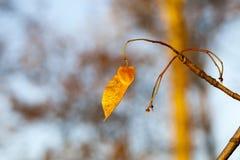 槭树种子,特写镜头 图库摄影