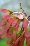 槭树种子-翼果群 免版税库存图片