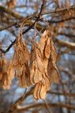 槭树种子 免版税库存照片