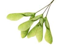 槭树种子 库存照片