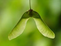槭树种子 免版税库存图片