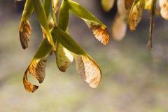 槭树种子 库存图片