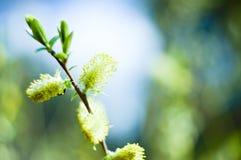 槭树种子 图库摄影