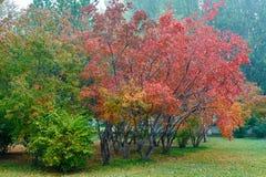 槭树红色叶子  免版税库存图片