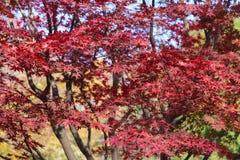 槭树红色叶子 免版税库存照片