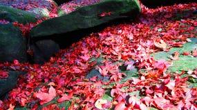 槭树红色在泰国庭院里 免版税库存照片