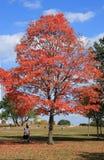 槭树红色结构树 免版税图库摄影