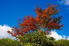 槭树红色 免版税库存照片