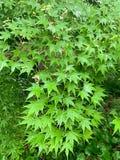 槭树绿色叶子背景 免版税库存照片