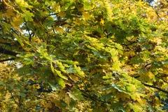 槭树绿色和黄色叶子在秋天 库存照片