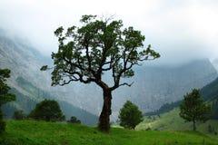 槭树老结构树 库存照片