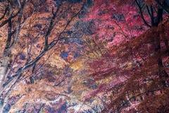 槭树走廊或槭树tennel 免版税图库摄影