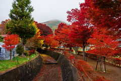 槭树走廊秋天在Kawaguchiko 库存照片