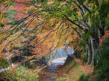 槭树走廊 库存图片