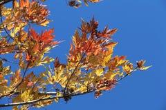 槭树转向红色,雄鹿垫铁被塑造的种子 免版税库存图片