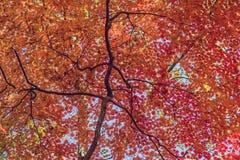 槭树轮它的对红色的叶子在秋天 免版税库存图片