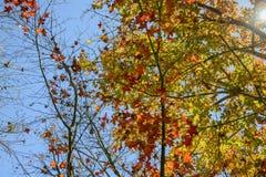 槭树金黄叶子秋天 库存照片