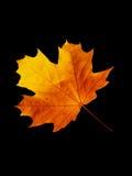 槭树页结构树 免版税库存照片