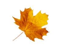 槭树页结构树 库存图片