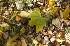 槭树黄绿色下落的叶子在地面上的 库存图片