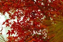 槭树,叶子, Phukradueng, Loei,泰国, 免版税库存照片