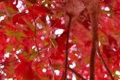 槭树,叶子, Phukradueng, Loei,泰国, 免版税库存图片