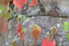 槭树,叶子, Phukradueng, Loei 图库摄影