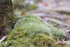 槭树,叶子, Phukradueng, Loei 免版税库存照片