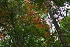 槭树,叶子, Phukradueng, Loei 库存照片