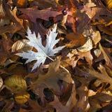 槭树,山毛榉,在森林地板上的橡木叶子在秋天 免版税库存照片
