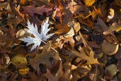 槭树,山毛榉,在森林地板上的橡木叶子在秋天 库存图片