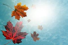 槭树,秋天板料混杂颜色 免版税图库摄影