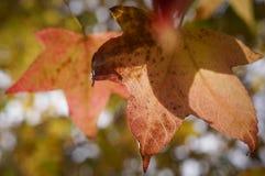 槭树离开与蓝天在Grampians国家公园,秋天澳大利亚 免版税库存图片