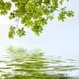 槭树离开反射 免版税库存图片