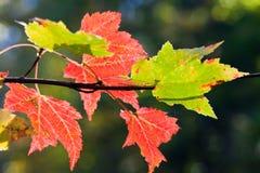 槭树离开在阳光下 免版税库存图片