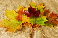 槭树离开秋天颜色 库存图片