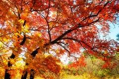 槭树离开秋天 免版税库存照片